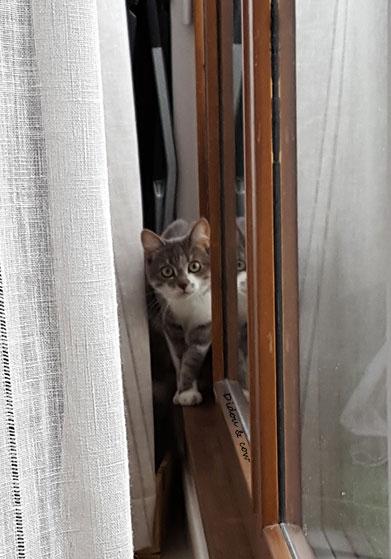 Chat derrière un rideau