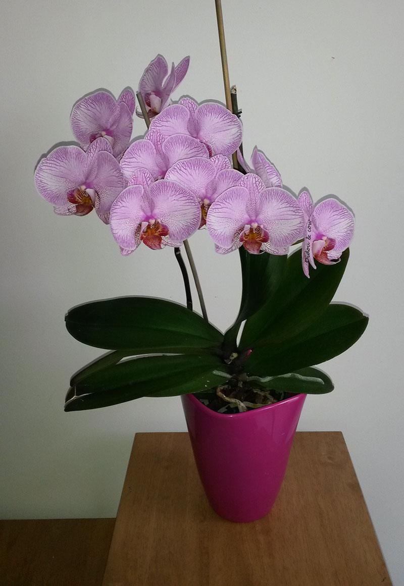 Orchidée rose dans son pot