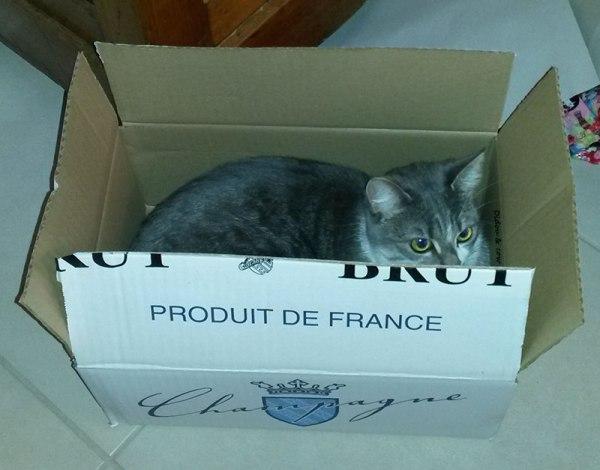 Chat dans un carton de bouteilles de Champagne