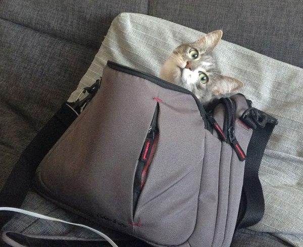 Chat dans une sacoche d'ordinateur